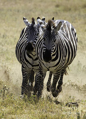 Photograph - Africa Zebras Running by Chris Scroggins