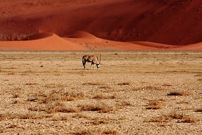 Photograph - African Antelope - Namibia by Aidan Moran