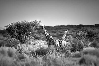 African Beauties - Giraffes  Art Print