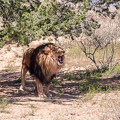 Dominant Women Photograph - African Black Mane Lion by Janice Rae Pariza