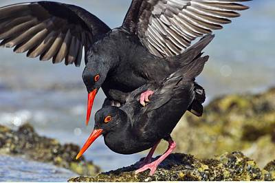 African Sex Photograph - African Black Oystercatchers Mating by Science Photo Library