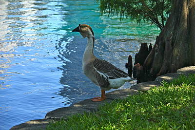 Photograph - African Brown Goose by Denise Mazzocco