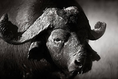 African Buffalo Bull Close-up Art Print