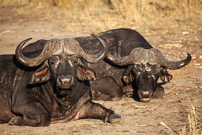 African Buffalo Art Print by Craig Brown