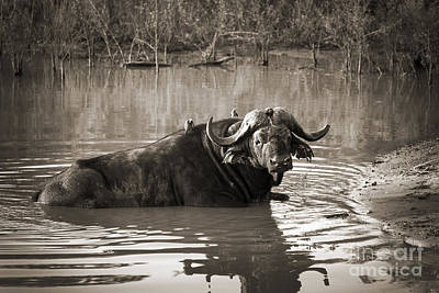 Water Buffalo Wall Art - Photograph - African Buffalo by Delphimages Photo Creations