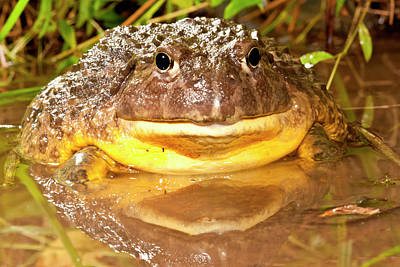 Anuran Photograph - African Burrowing Bullfrog by David Northcott