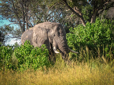 Photograph - African Bush Elephant by Gregory Daley  PPSA
