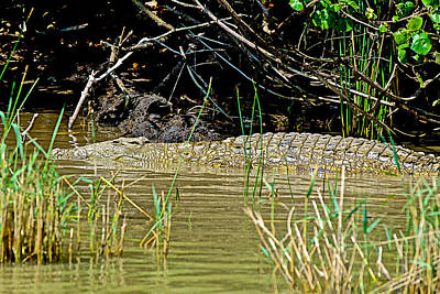 African Crocodile In Saint Lucia Estuary In South Africa  Original