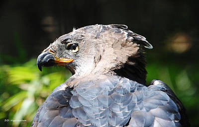 Photograph - African Crowned Eagle by DiDi Higginbotham