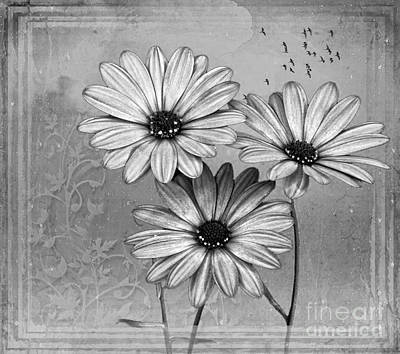Photograph - African Daisies by Shirley Mangini
