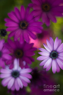 African Daisy Collage Art Print by Mike Reid