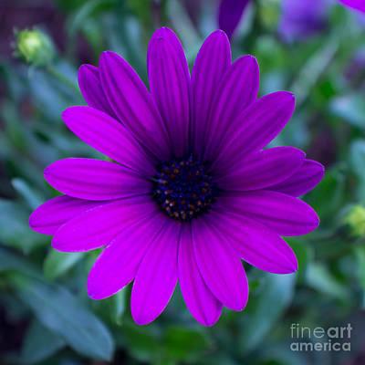 Photograph - African Daisy by Deanna Proffitt