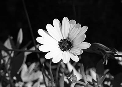 Photograph - African Daisy by Ellen Henneke