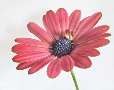 Photograph - African Daisy II by David and Carol Kelly