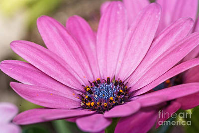 Photograph - African Daisy  by Martin Capek