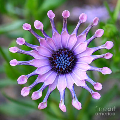 Photograph - African Daisy - Square Format by Carol Groenen