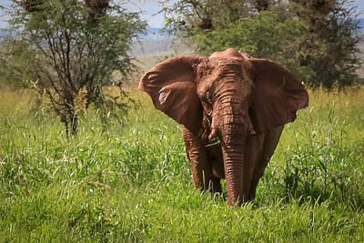 African Desert Elephant Art Print
