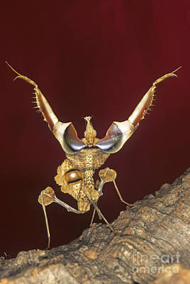 Photograph - African Devil Mantis by Francesco Tomasinelli