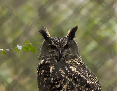 Charlotte Framed Photograph - African Eagle Owl by B Wayne Mullins