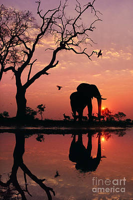 Photograph - African Elephant At Dawn by Frans Lanting MINT Images