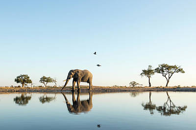 Flying Photograph - African Elephant At Water Hole, Botswana by Paul Souders