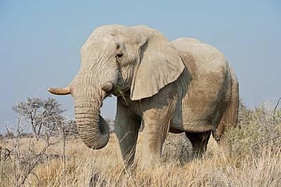 African Elephant Bull Art Print by Tony Camacho