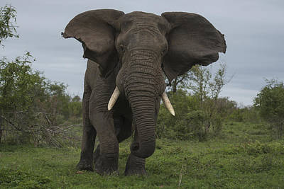 Front View Photograph - African Elephant Charging Sabi-sands by Sergey Gorshkov