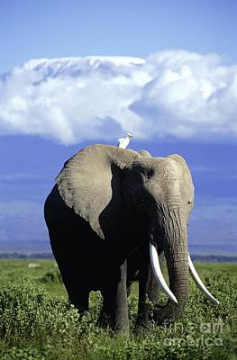 Photograph - African Elephant by Daryl Balfour