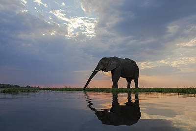 Photograph - African Elephant Drinking Chobe River by Vincent Grafhorst