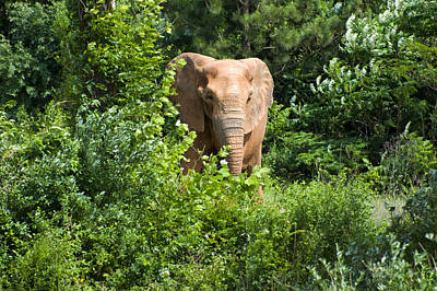 Digital Art - African Elephant Eating In The Shrubs by Chris Flees