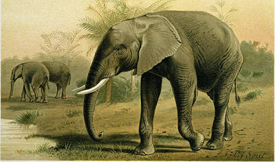 African Animals Drawing - African Elephant by English School