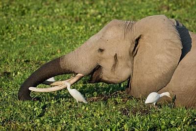 Ibis Photograph - African Elephant Feeding Alongside Egrets by Tony Camacho