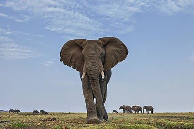 Front View Photograph - African Elephant Female On Defensive by Vincent Grafhorst