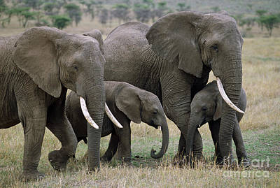 African Elephant Females And Calves Art Print
