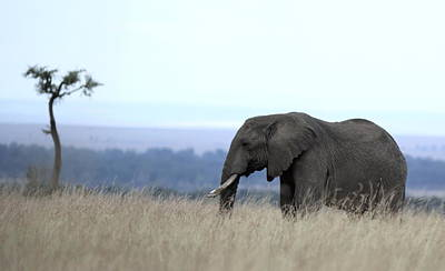 Photograph - African Elephant Grazing by Ramabhadran Thirupattur