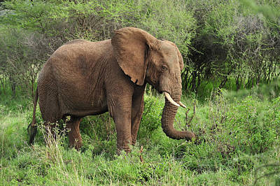 African Elephant Grazing Serengeti Print by Thomas Marent