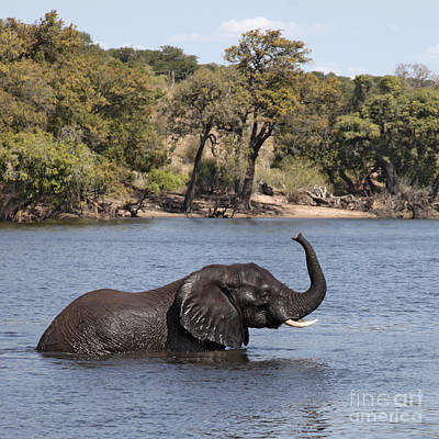 Art Print featuring the photograph African Elephant In Chobe River  by Liz Leyden