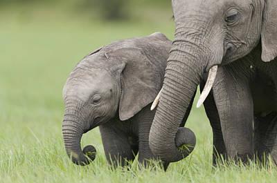 Photograph - African Elephant Juvenile And Calf Kenya by Tui De Roy