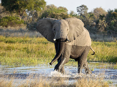 Art Print featuring the photograph African Elephant Mock-charging by Liz Leyden