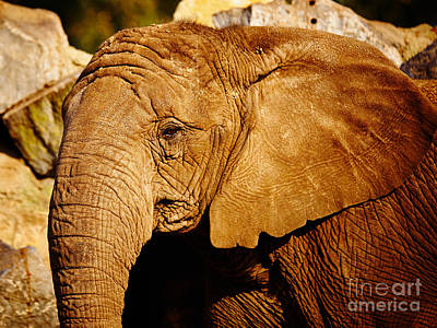 Photograph - African Elephant by Nick  Biemans