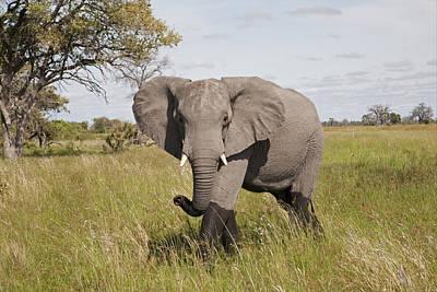 African Elephant Okavango Delta Botswana Art Print