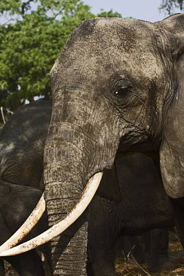 Loxodanta Photograph - African Elephant Portrait by Sally Weigand