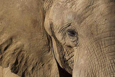 African Elephant Art Print by San Diego Zoo