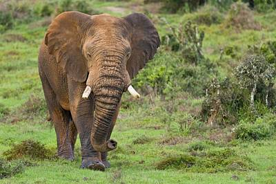 African Elephant Art Print by Science Photo Library