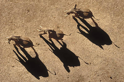 Photograph - African Elephant Shadows by Tim Fitzharris