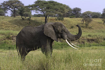 Photograph - African Elephant Tusker by Chris Scroggins