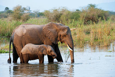 Animal Family Photograph - African Elephant With Young  Loxodonta by Ariadne Van Zandbergen