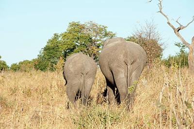 African Elephants (loxodonta Africana Art Print