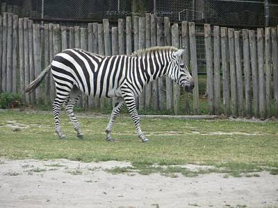 Black And White Of Zebras Photograph - African Equid March by Sonali Gangane