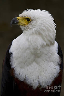 African Fish Eagle 4 Art Print by Heiko Koehrer-Wagner